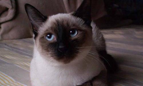 十大名贵猫排名,十大名贵猫有哪些