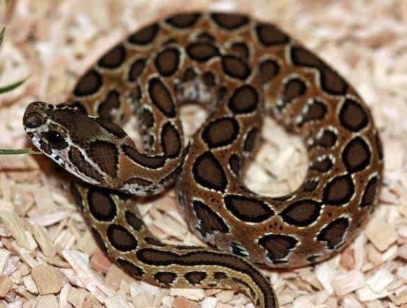 世界十大毒蛇排名,世界十大毒蛇是哪些
