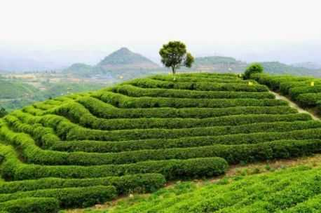 中国茶叶品牌十大排名_中国茶叶排名前十
