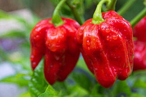 最辣辣椒排行榜排名_目前世界上最辣的辣椒排名